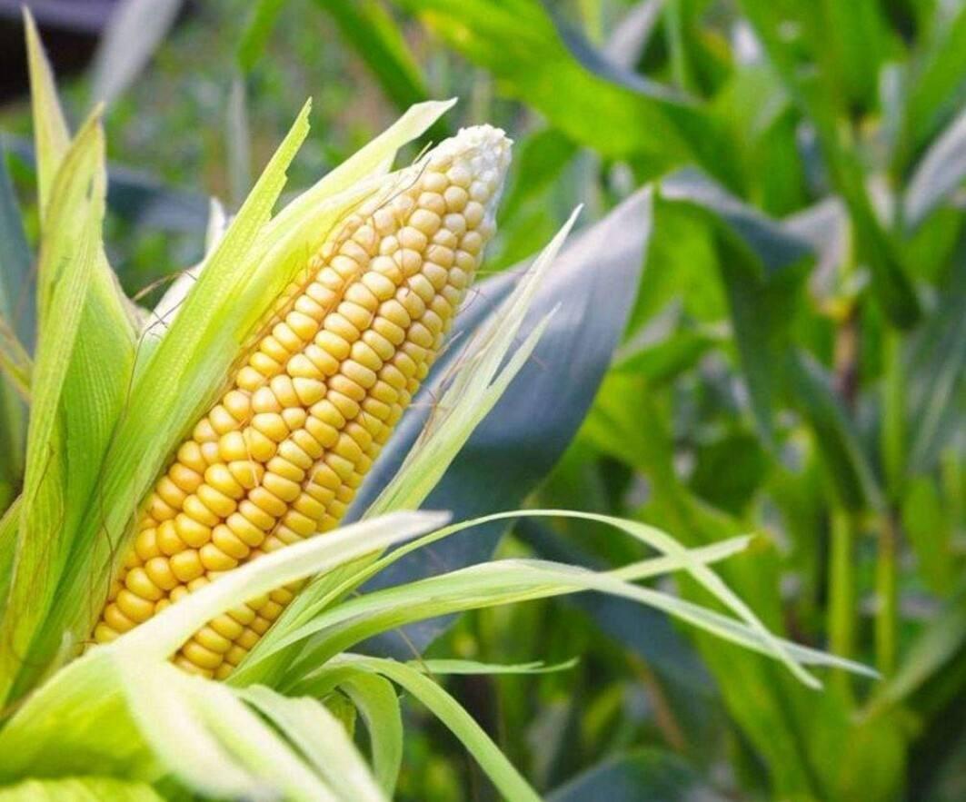 玉米苗打叶面肥的作用有哪些?