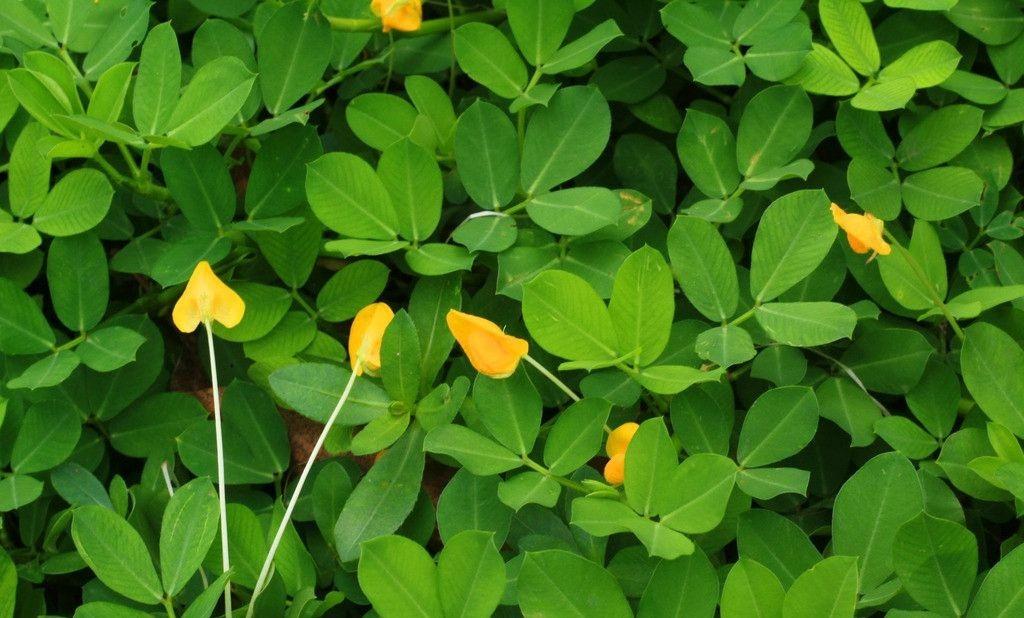 夏季花生叶面肥的施用技术