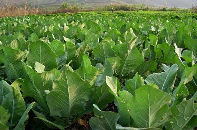 糖在蔬菜上能做叶面肥