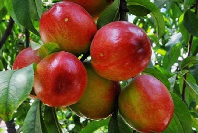 油桃成熟期喷什么叶面肥好?