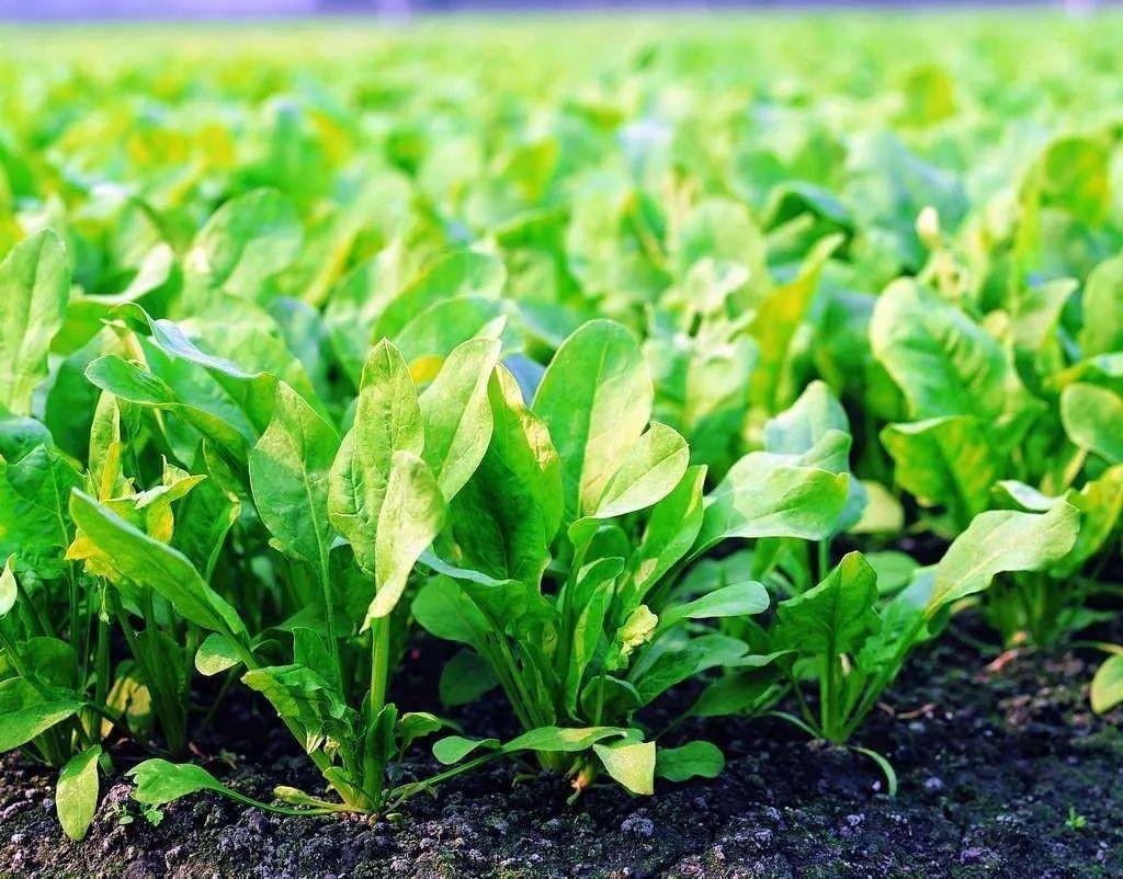 叶面肥与根部施肥的区别