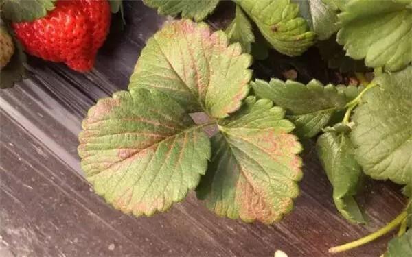 草莓缺钾症状、诊断要点、原因及解决办法