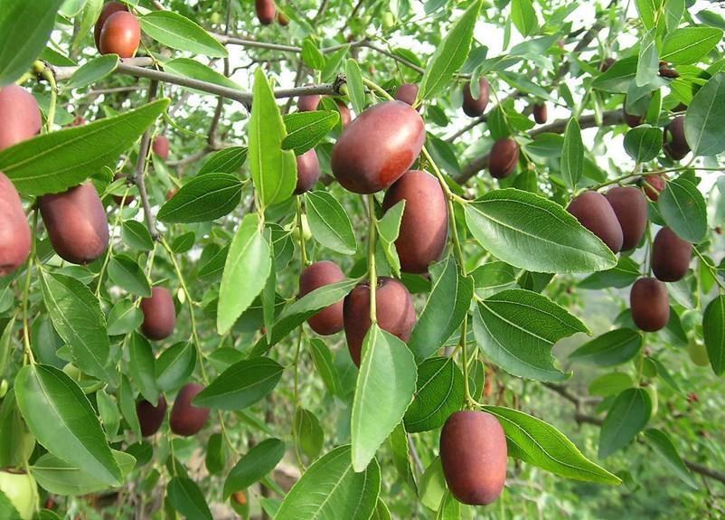 枣树秋季施基肥有哪些好处