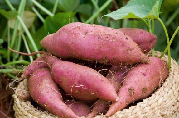 甘薯膨大期如何管理?