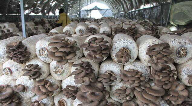 蘑菇产期如何追肥