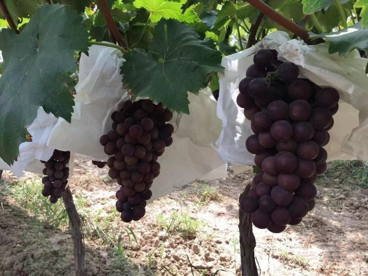 用了这个水溶肥料,葡萄上市早、甜度高,能卖好价钱!