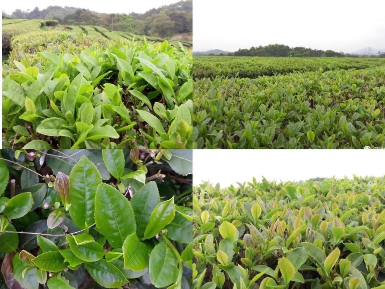 哪种水溶肥料适合种茶叶?宜宾李大姐说朴欣值得信赖!