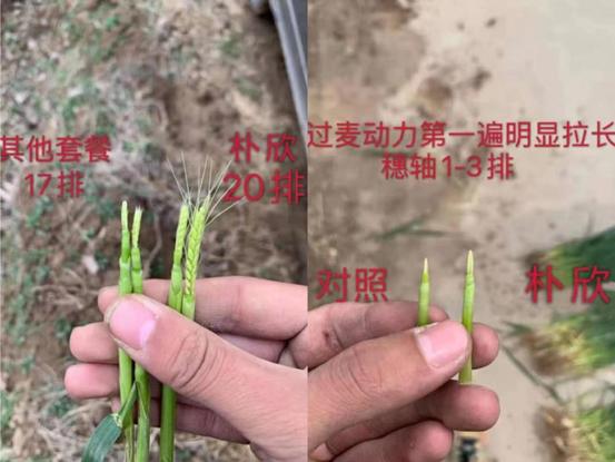 小麦使用水溶肥效果图